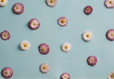 Pattern of white and pink daisies Royalty Free Stock Images