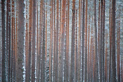 Winter pine forest. Pattern of winter pine thick forest, close sequence of trunks stock photos