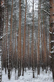 Pattern of the winter pine tree forest Stock Images