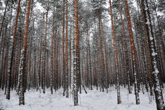 Pattern of the winter pine tree forest Stock Photography
