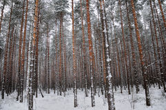 Pattern of the winter pine tree forest Royalty Free Stock Image