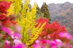Pattern of Yellow Ginkgo leaf tree and Red maple tree as background. In Japan Autumn season stock photo