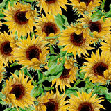 Pattern with yellow sunflowers painted in watercolor on a black background Royalty Free Stock Photography