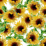 Pattern with yellow sunflowers painted in watercolor on a white background Royalty Free Stock Image