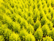 Pattern of young conifer trees Stock Photo