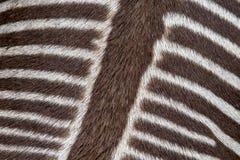 The pattern on a zebra`s back stock image