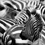 Pattern of zebras Stock Photo