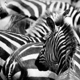Pattern of zebras. Masai mara, kenya Stock Photo