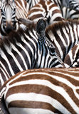 Pattern of zebras Stock Image