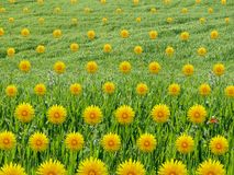 Patterned Dandelions Collage in Grass Field Royalty Free Stock Photos