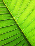 Patterned green leaf of the Plumeria tree background Royalty Free Stock Image