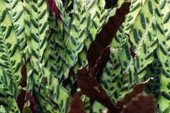 Patterned leaves with maroon backs. Green detailed leaves with maroon backs grow Stock Photo