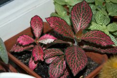 Nerve-plant with red veins growing on window sill Royalty Free Stock Images