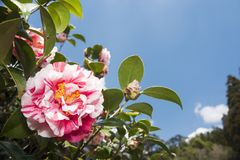 Patterned petals flower. Pink splash patterned petals camellia flower under blue sky Stock Photography
