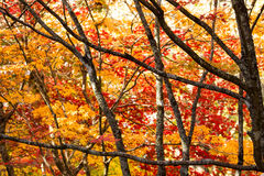 Patterns of branches and colorfull autumn leaves. Tight cropped frame of a bunch of trees depicting fall season Stock Photos