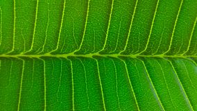 Patterns in a leaf. The sequences of leaf veins, horizontal and vertical, flow, green, abstract in nature, background, textures, macro Stock Photos