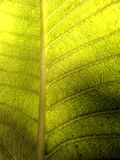 Patterns of the leaf veins. Close up under sun light green leaf veins form a netlike pattern Royalty Free Stock Photography