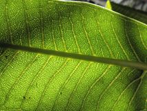 Patterns of the leaf veins. Close up under sun light green leaf veins form a netlike pattern Royalty Free Stock Images