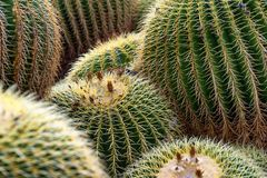 Patterns in a patch of barrel cactus Royalty Free Stock Photo