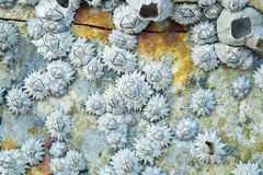 Patterns from Rock Barnacles Stock Images