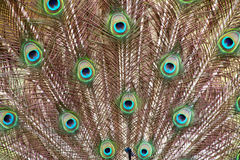 Patterns Textures and Feathers of Male Peacock Spread Display. Extreme close up of colorful patterns textures and feathers of male peacock spread display royalty free stock images