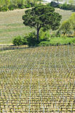 Patterns of a Vineyard in Tuscany Royalty Free Stock Photography