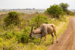 Patterson`s eland isolate in Nairobi park royalty free stock image
