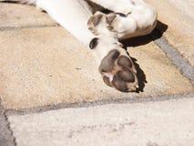 Pattes de chien (57) Image libre de droits