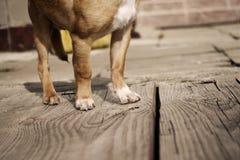 Pattes de chien Images stock