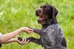 Pattes de chien chez des mains de la femme sur le fond vert Photos stock