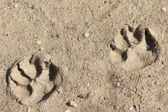Pattes de chien dans la boue Photos stock