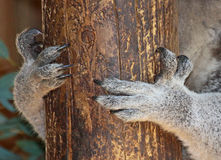 Pattes de koala Images libres de droits