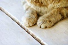 Pattes mignonnes du ` s de chat sur un chat moitié-tigré blanc en bois Photo stock