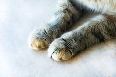 Pattes mignonnes du ` s de chat sur un chat moitié-tigré blanc en bois Photographie stock libre de droits