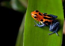 Pattes rayées rouges de bleu de grenouille de dard de poison Image libre de droits