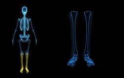 Pattes squelettiques illustration libre de droits