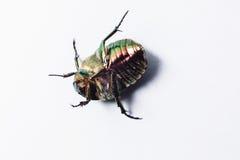 Pattes vertes de mensonges d'insecte de scarabée sur un fond blanc Image stock