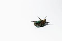 Pattes vertes de mensonges d'insecte de scarabée sur un fond blanc Image libre de droits