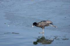Pattinare di ghiaccio euroasiatico della folaga (atra del Fulica). Fotografia Stock