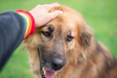 Patting dog on the head. Hand touching dog head with love Stock Image