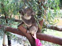 Patting Eating Koala. Patting a Koala at the zoo in Australia while it eats leaves. Friendly furry animal Royalty Free Stock Photos