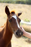 Patting little horse. Girl pats horse's face with her hand Royalty Free Stock Photos