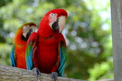 Parrots. On the tree branch stock image