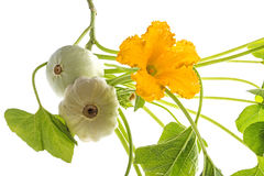 Pattypan, witte pompoen, Cucurbita-pepo Royalty-vrije Stock Fotografie
