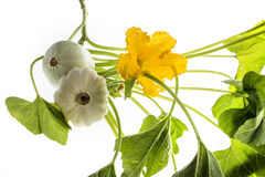 Pattypan, witte pompoen, Cucurbita-pepo Royalty-vrije Stock Foto's