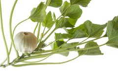 Pattypan, witte pompoen, Cucurbita-pepo Stock Foto