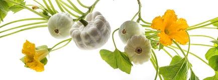 Pattypan, witte pompoen, Cucurbita-pepo Royalty-vrije Stock Foto