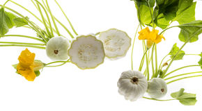Pattypan, witte pompoen, Cucurbita-pepoinstallatie Royalty-vrije Stock Foto