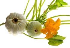 Pattypan, witte pompoen, Cucurbita-pepoinstallatie Royalty-vrije Stock Afbeelding