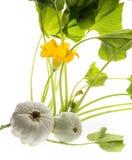 Pattypan, witte pompoen, Cucurbita-pepoinstallatie Stock Afbeeldingen